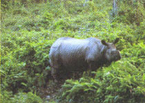 Dooars - rare one horned rhinoceros