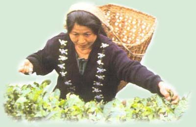 Dooars - worker plucking tea leaves